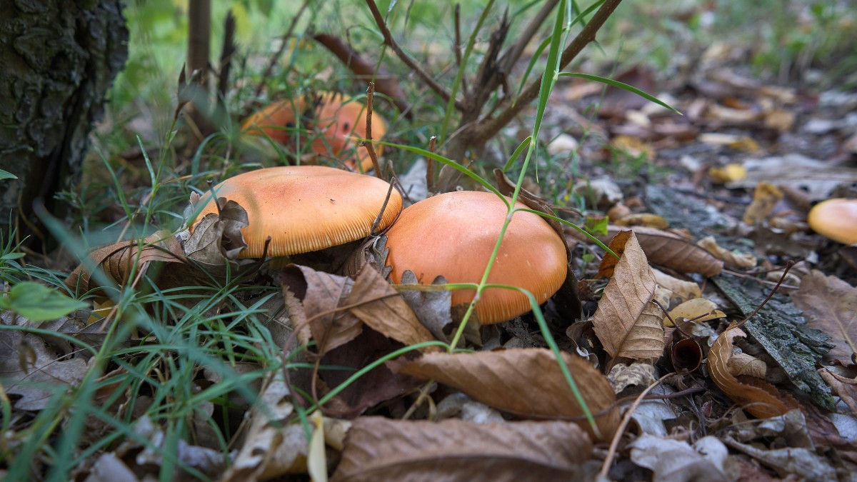 Piemontese mushrooms in the wild | Anna Maria's Foods